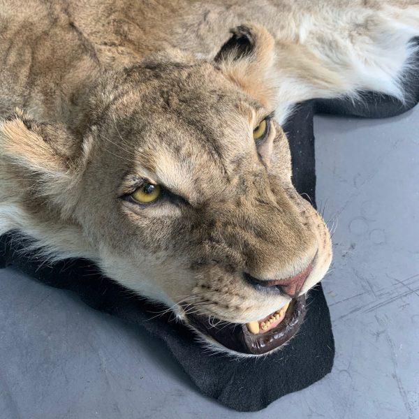 Nieuwe zacht gelooide huid van een leeuwin