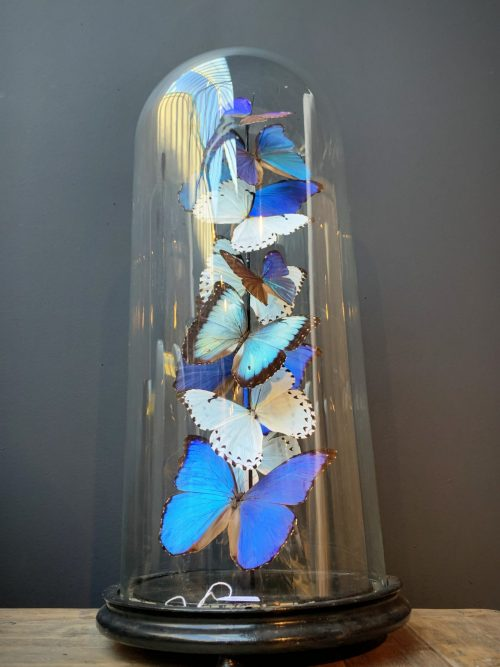 Antique dome with Morpho mix butterflies