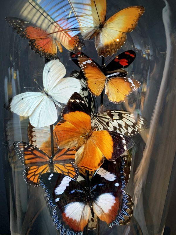 Antieke stolp gevuld met een mix van kleurrijke vlinders (herfsttinten)