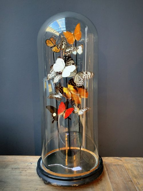 Antique bell jar filled with a mix of colorful butterflies in autumn colors