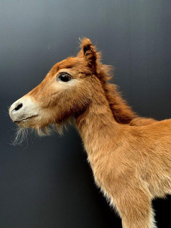 Recent opgezet veulen van een pony