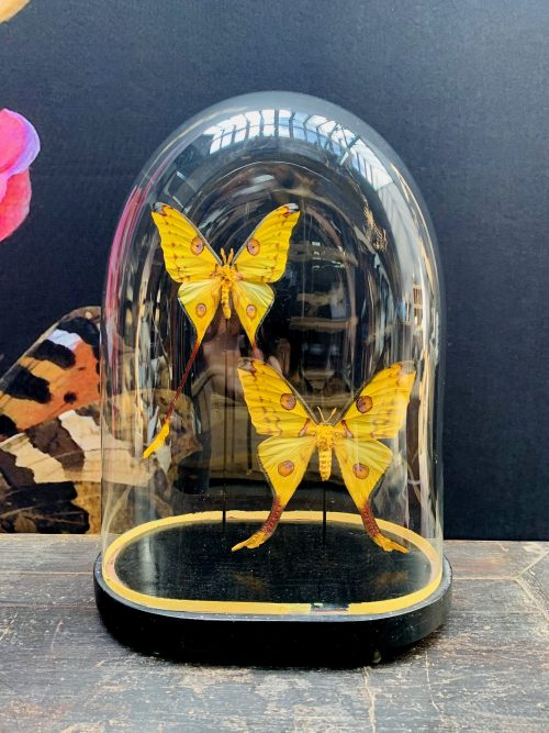 Antique oval dome with comet tail butterflies