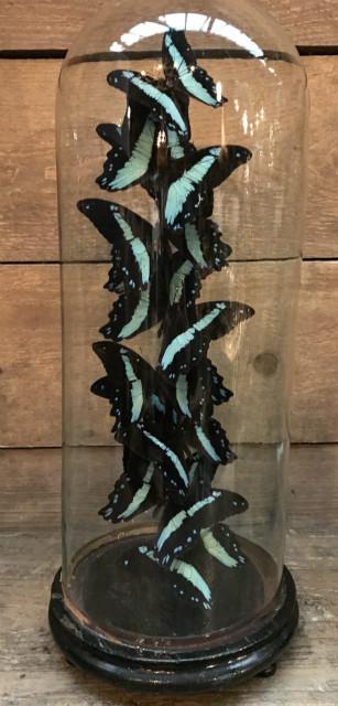 Antieke stolp met vlinders Papilio Karna Chrapkowskoides Congo