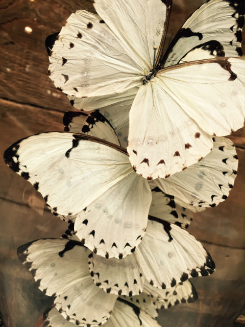 Antique bell with white Catenarius Morpho butterflies