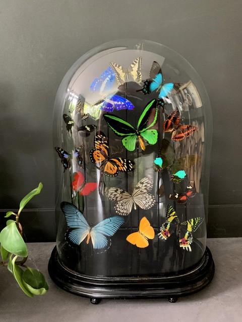 Antike Cloche gefüllt mit einer Mischung aus bunten Schmetterlingen