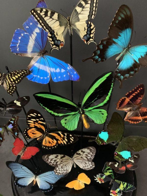 Antieke stolp gevuld met een mix van kleurrijke vlinders