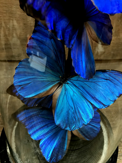 Antik Glas gefüllt mit speziellen Schmetterlinge mit einem tiefblauen Farbe (Morpho Anabiaba)