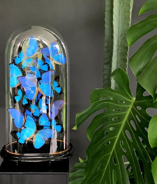 Antieke stolp rijkelijk gevuld met blauwe morpho vlinders