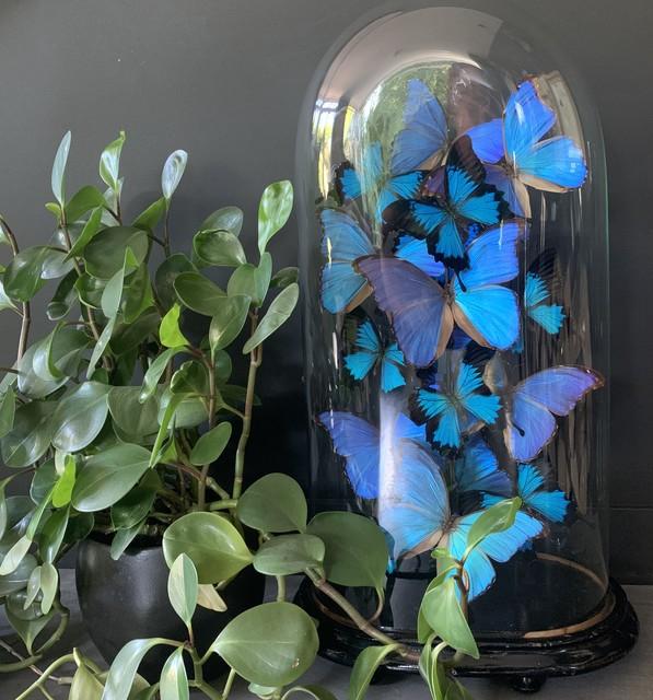 Antike Kuppel reich gefüllt mit blauen Morpho-Schmetterlingen