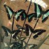 Antike Glocke mit Schmetterlingen (Graphium Schmetterlinge)