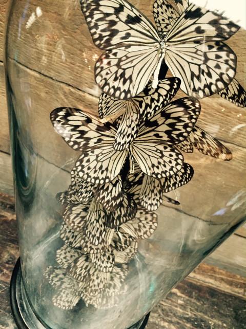 Antique dome with butterflies (Idea Leuconoe)
