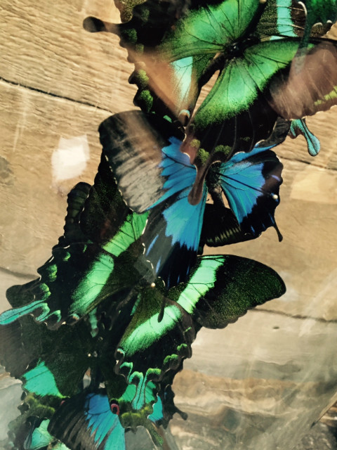 Antieke stolp met vlinders (Papilio Ulysses, Blumei en Torquiianius)