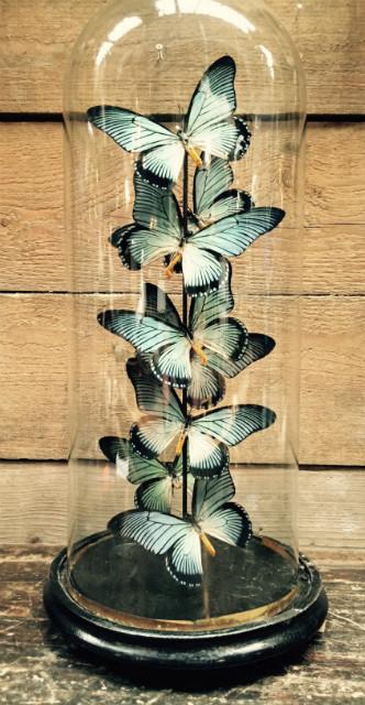 Antieke stolp met vlinders (Papilio Zalmoxis)