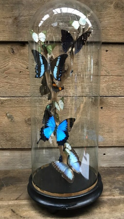 Antique glass dome with beautiful butterflies in many colors