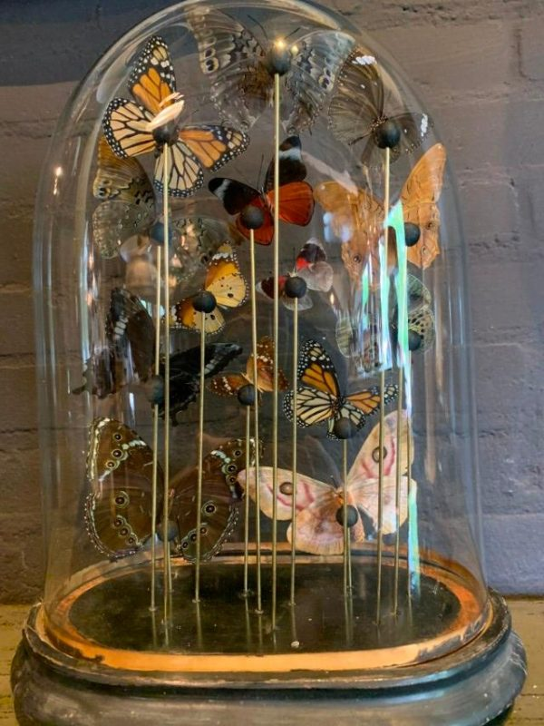 Antique oval bell jar filled with colorful butterflies