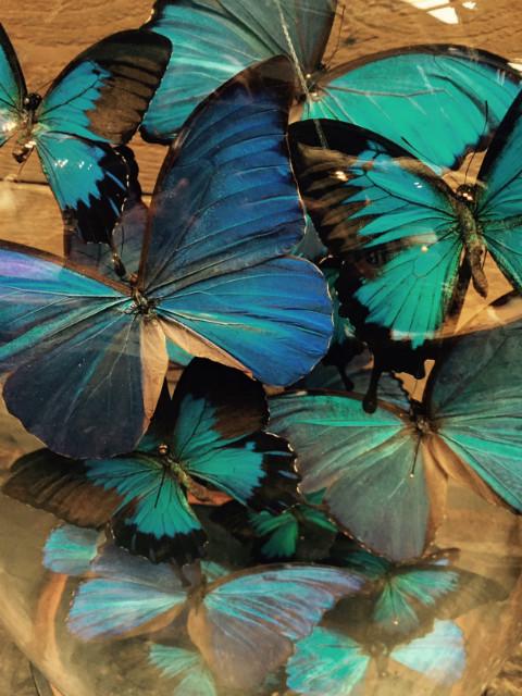 Antieke ovale stolp met vlinders (Papilio Ulysses Ulysses en Morpho Didius)