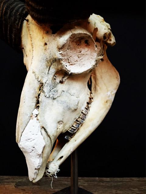 Antique skull of a mouflon on stone base