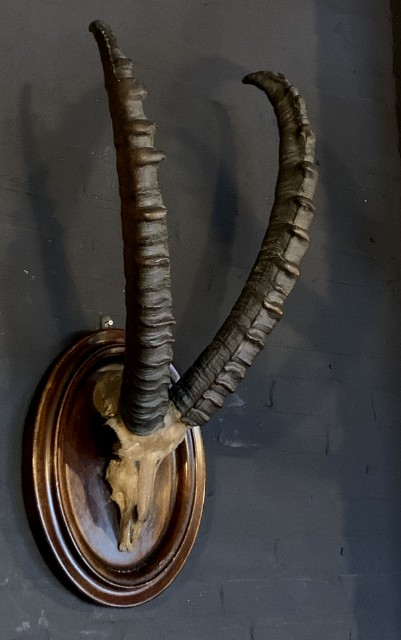 Antique skull of an ibex