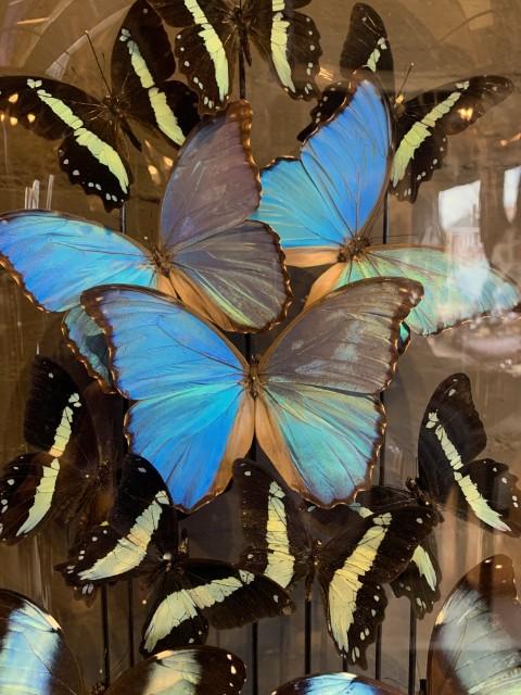 Antikes XXL Glockenglas reich gefüllt mit blauen Schmetterlingen.
