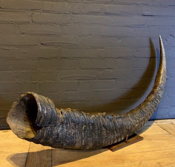 Antieke XXL hoorn van een Aziatische waterbuffel.