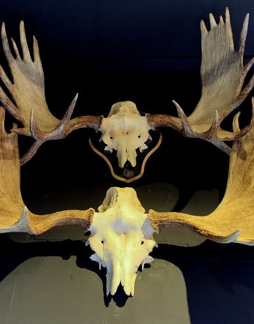 Antlers from a Scandinavian moose