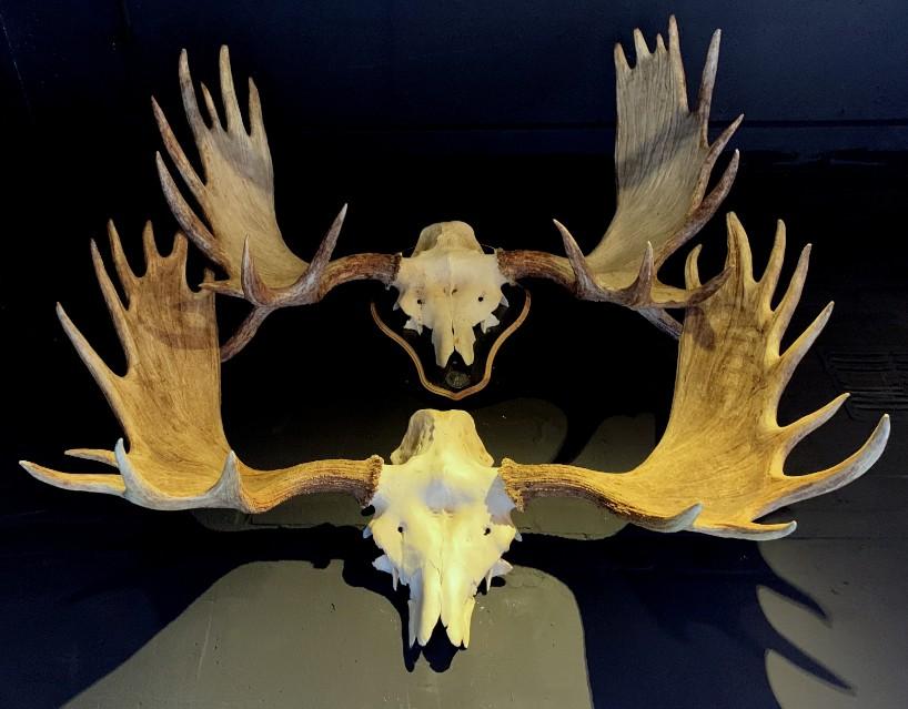 Gewei van een Scandinavische eland. We hebben er diverse op voorraad. Breed tot +/- 110 cm. Informeer voor de prijzen.