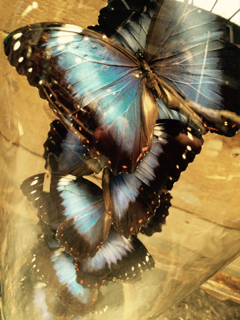 Beautiful antique bell with 10 violet / blue Morpho butterflies Violacea