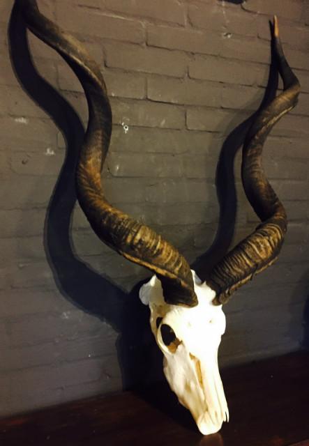 Schöne gebleichten Kudu Schädel