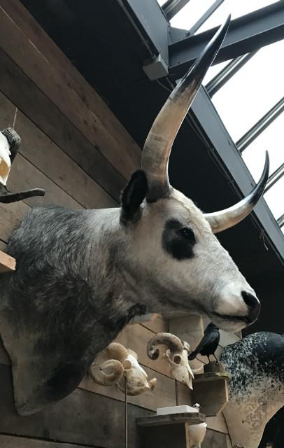 Schöner Kopf eines ungarischen Steppenrinder