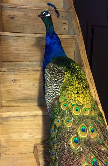 Beautiful ornate peacock.