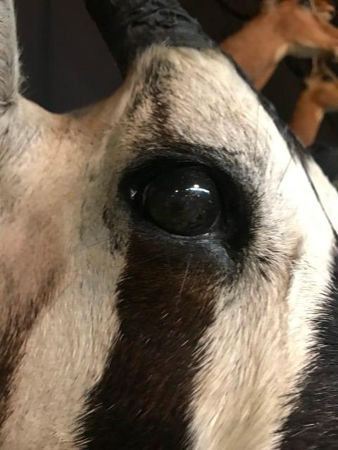 Jagdtrophäe eines Oryx, Tierpräparate kaufen,