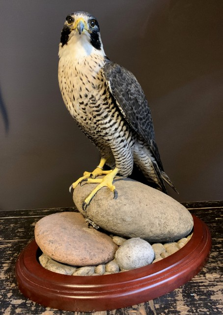 Beautiful, recently made peregrine falcon