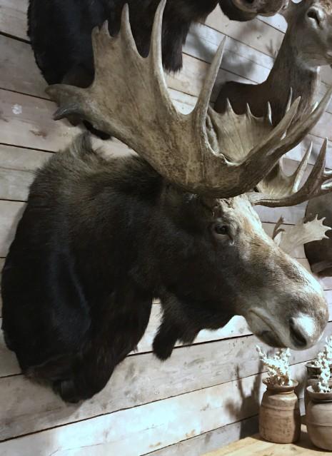 Prachtige recent opgezette kop van een Canadese eland
