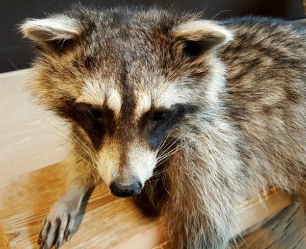 Prachtig zeer natuurgetrouw opgezette wasbeer.