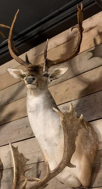 Beautiful stuffed head of a fallow deer