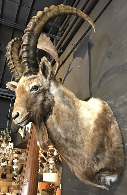 Beautiful stuffed ibex