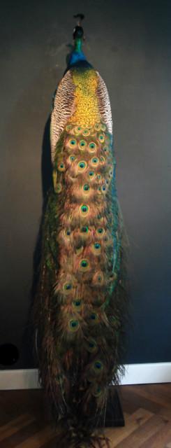 Prachtige en zeer grote opgezette sierlijke pauw.
