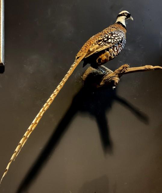 Beautiful taxidermy king pheasant
