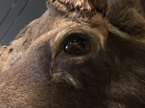 Prachtige opgezette kop van een Canadese eland