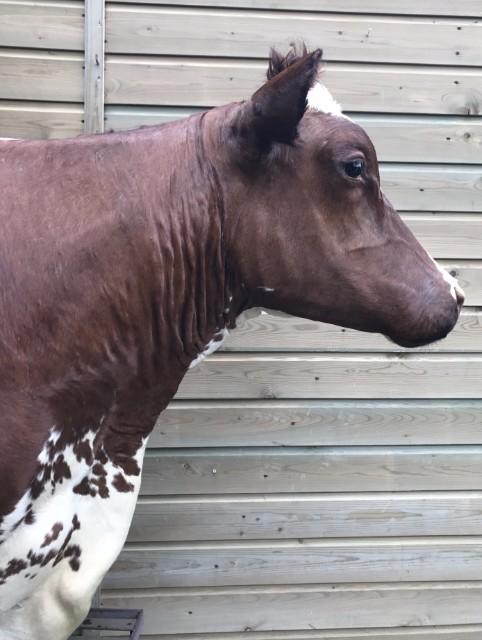 Prachtige opgezette kop van een koe.