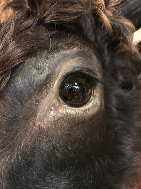 Prachtige opgezette kop van een Dexter stier.