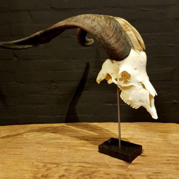 Grote mooie schedel van een geitenbok