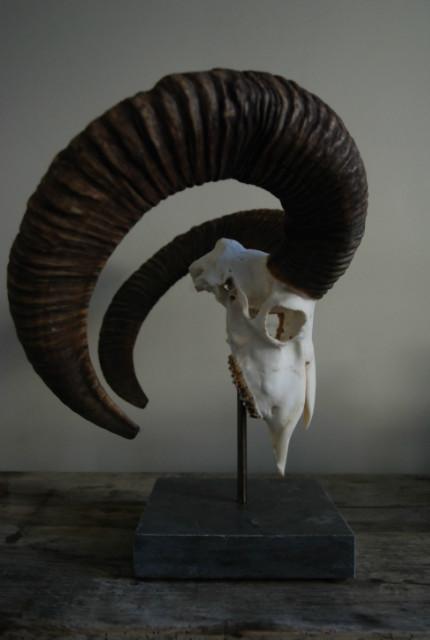 Big mouflon skull on a hard stone base