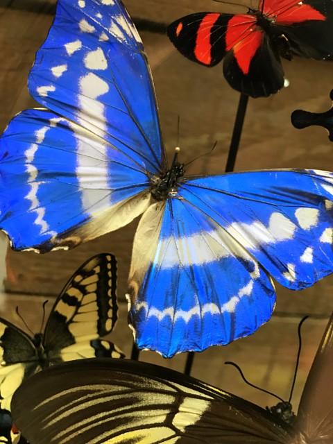 Große alte Glasglocke mit bunten Mischung aus vielen Schmetterlingsarten