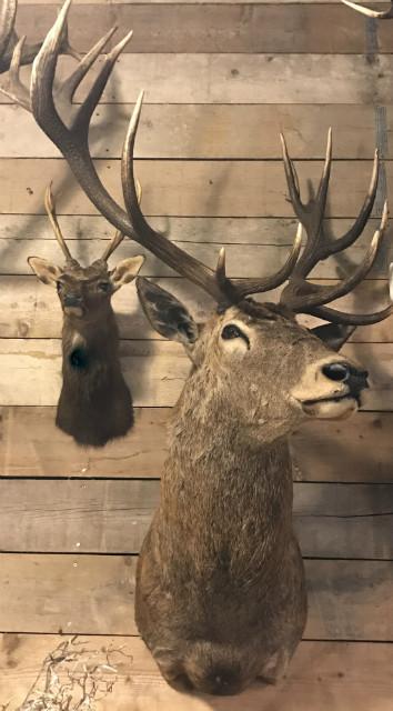 Big taxidermy head of a deer