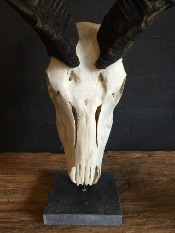 Gebleekte schedel van een grote kudu