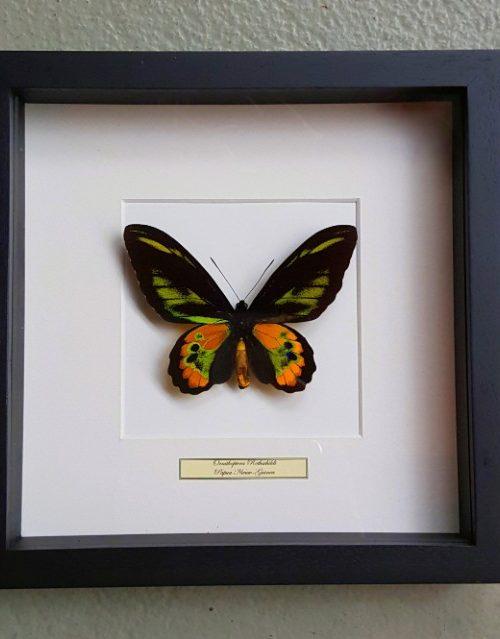 Schmetterling in Holzrahmen (Ornithoptera Rothschildi)