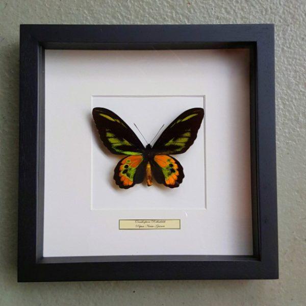 Vlinder in houten frame (Ornithoptera Rothschildi)