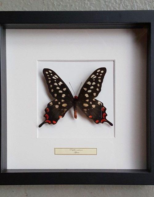 Schmetterling in Holzrahmen (Papilio Antenor)