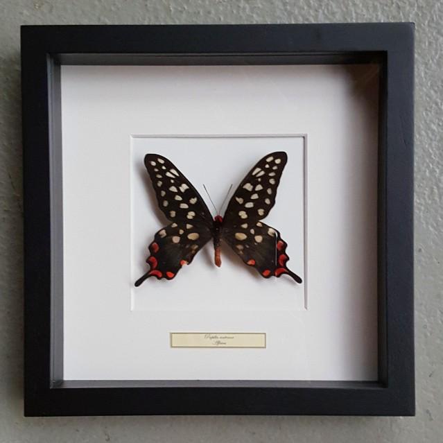 Vlinder in houten frame (Papilio Antenor)